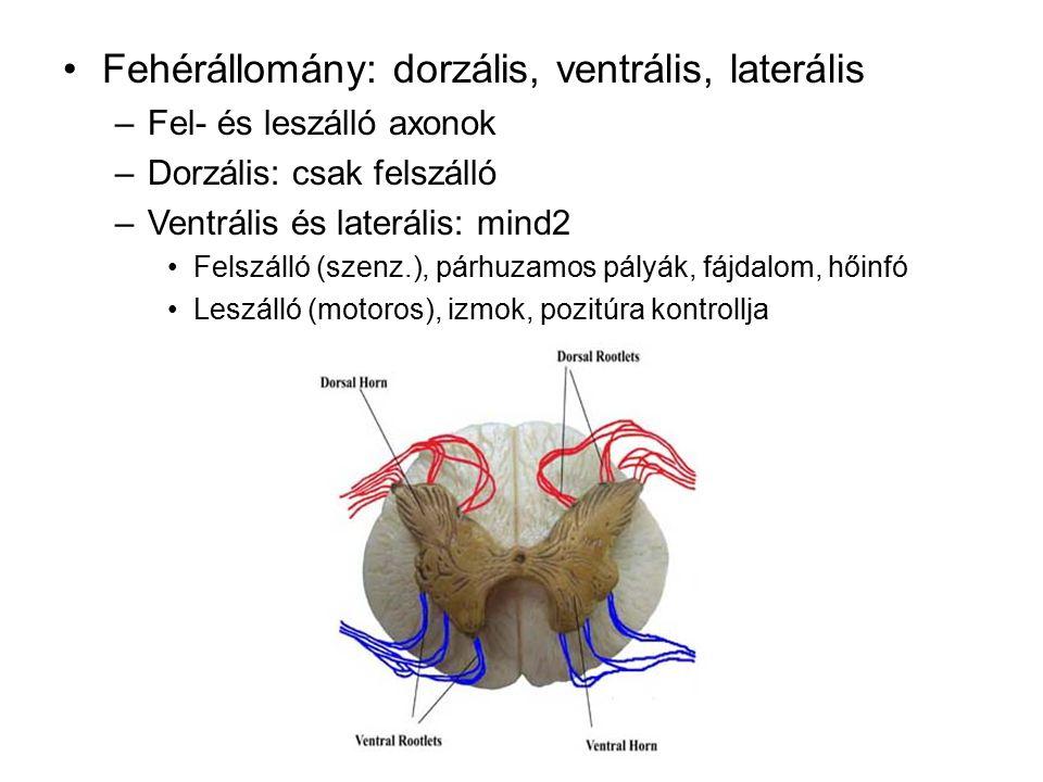 Gerincvelő - 4 fő régió Cervikális (nyaki) Thoracális (háti) Lumbális (ágyéki) Sacrális (keresztcsonti)