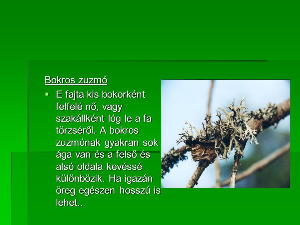 Bokros zuzmó  E fajta kis bokorként felfelé nő, vagy szakállként lóg le a fa törzséről.