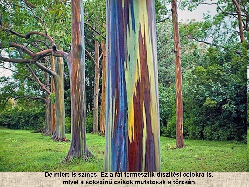 Ez az egyetlen eukaliptuszfaj, amelyik az északi féltekén is őshonos. Ez a fajt széles körben termesztik szerte a világon, főleg a papír előállítás al