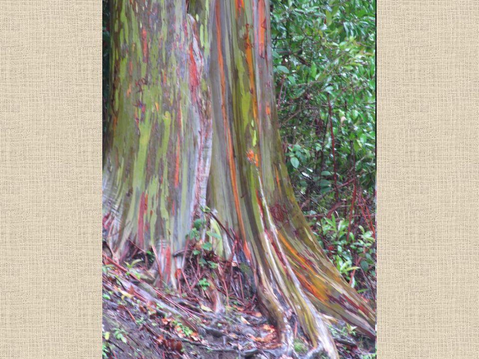 De miért is színes. Ez a fát termesztik díszítési célokra is, mivel a sokszínű csíkok mutatósak a törzsén.