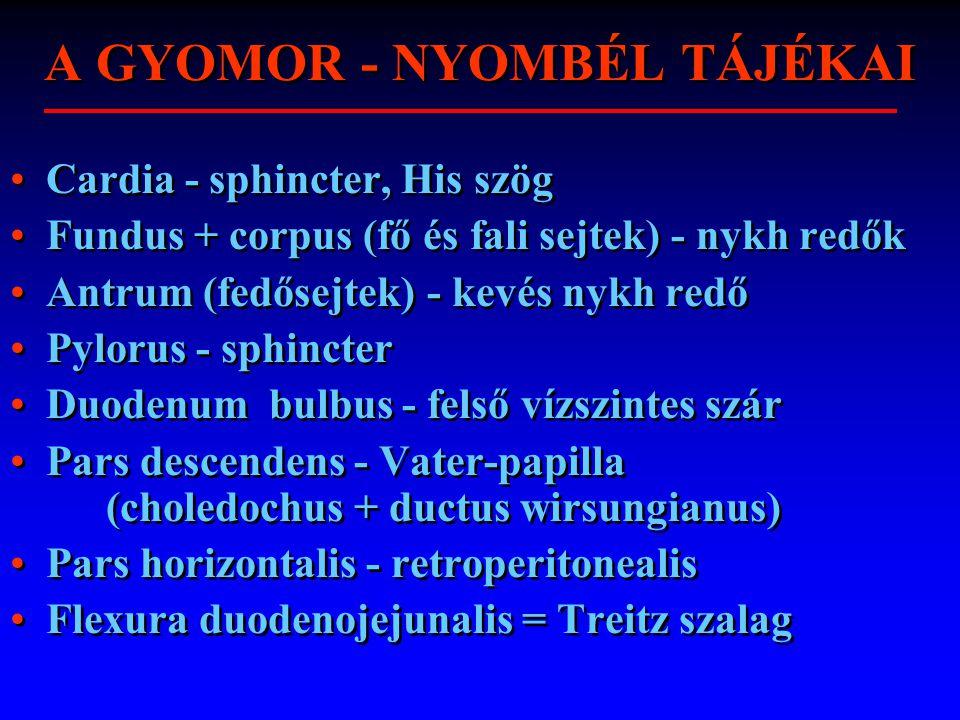 A GYOMOR - NYOMBÉL TÁJÉKAI Cardia - sphincter, His szög Fundus + corpus (fő és fali sejtek) - nykh redők Antrum (fedősejtek) - kevés nykh redő Pylorus