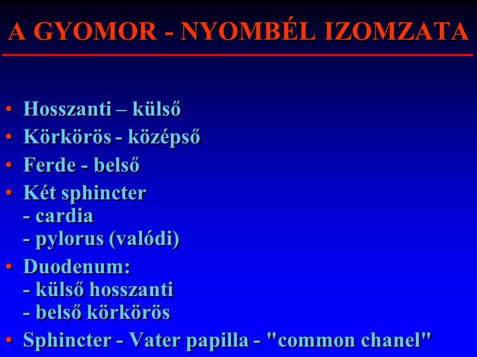 A GYOMOR - NYOMBÉL IZOMZATA Hosszanti – külső Körkörös - középső Ferde - belső Két sphincter - cardia - pylorus (valódi) Duodenum: - külső hosszanti -