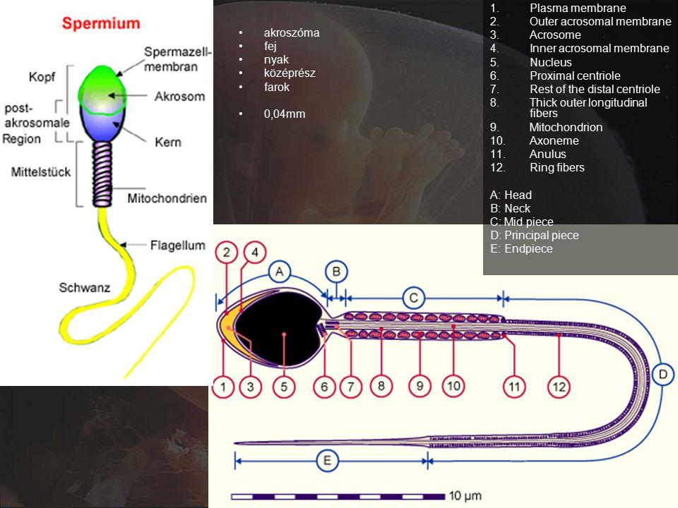 akroszóma fej nyak középrész farok 0,04mm 1.Plasma membrane 2.Outer acrosomal membrane 3.Acrosome 4.Inner acrosomal membrane 5.Nucleus 6.Proximal centriole 7.Rest of the distal centriole 8.Thick outer longitudinal fibers 9.Mitochondrion 10.Axoneme 11.Anulus 12.Ring fibers A: Head B: Neck C: Mid piece D: Principal piece E: Endpiece