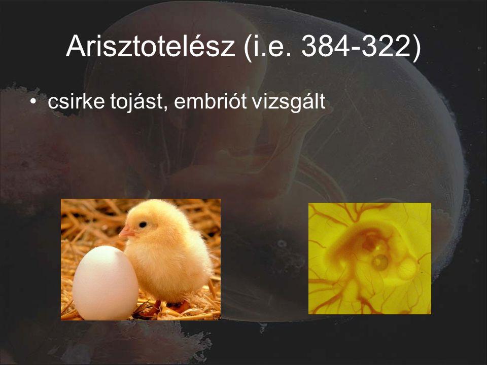 Arisztotelész (i.e. 384-322) csirke tojást, embriót vizsgált
