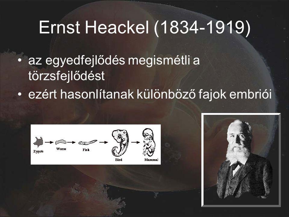 Ernst Heackel (1834-1919) az egyedfejlődés megismétli a törzsfejlődést ezért hasonlítanak különböző fajok embriói