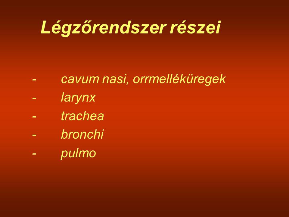 Légzőrendszer részei -cavum nasi, orrmelléküregek -larynx -trachea -bronchi -pulmo
