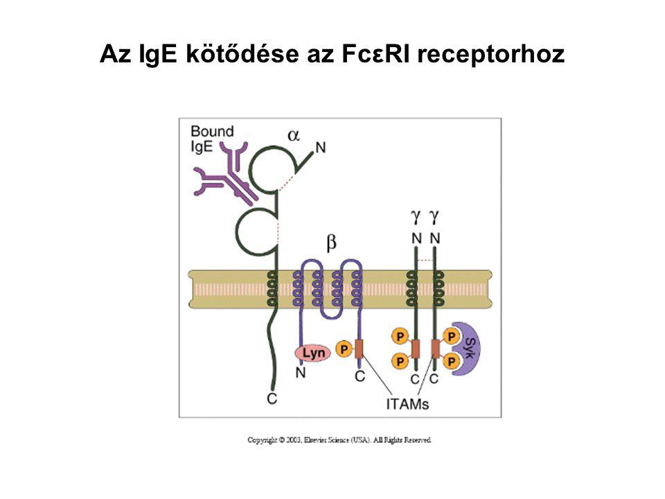 Az IgE kötődése az FcεRI receptorhoz