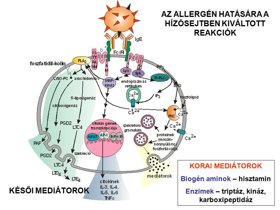 AZ ALLERGÉN HATÁSÁRA A HÍZÓSEJTBEN KIVÁLTOTT REAKCIÓK KORAI MEDIÁTOROK Biogén aminok – hisztamin Enzimek – triptáz, kináz, karboxipeptidáz KÉSŐI MEDIÁ