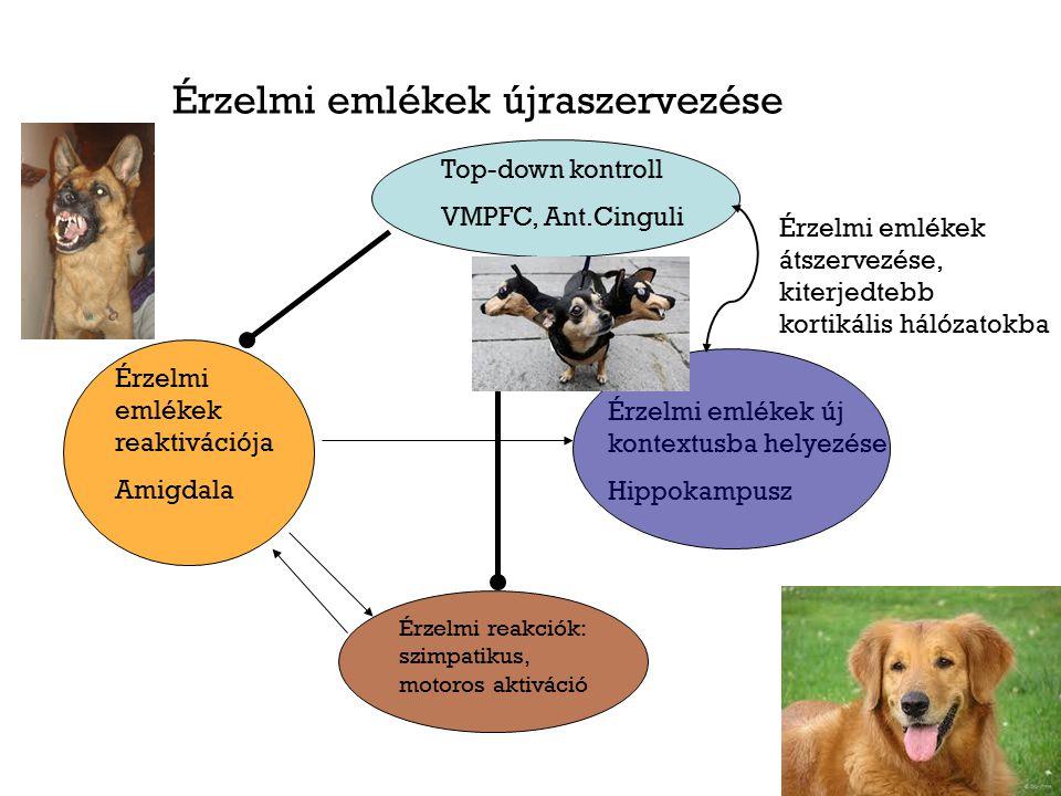 Érzelmi emlékek újraszervezése Érzelmi emlékek reaktivációja Amigdala Top-down kontroll VMPFC, Ant.Cinguli Érzelmi reakciók: szimpatikus, motoros akti