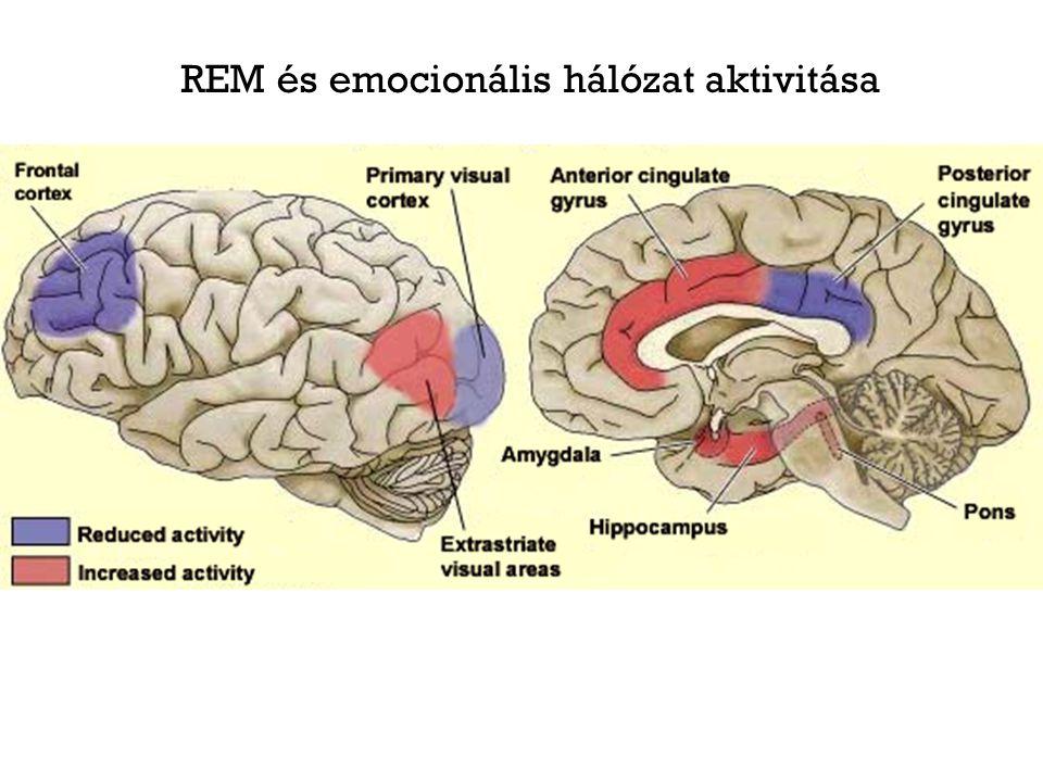 Sérül az alvás folytonossága Töredezett, éberebbnek tűnő alvásmintázat Fokozott REM nyomás a depresszív és szorongásos tünetekkel összefüggésben Csökkent SWS Fokozott REM nyomás Alvást elősegítő és éberséget fokozó folyamatok egyensúlyának zavara.