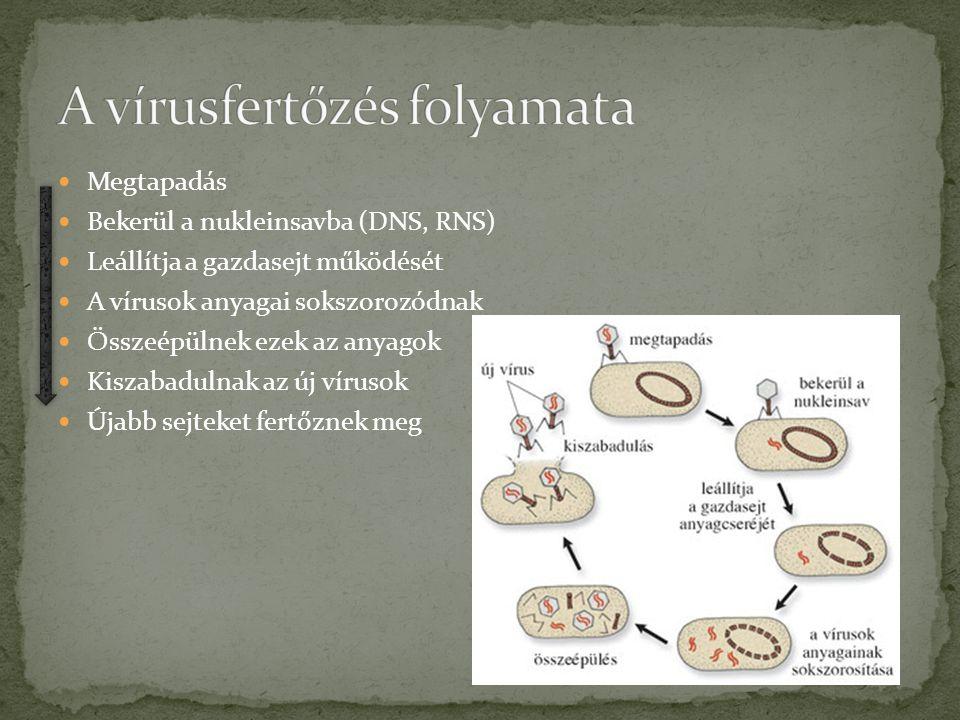 Megtapadás Bekerül a nukleinsavba (DNS, RNS) Leállítja a gazdasejt működését A vírusok anyagai sokszorozódnak Összeépülnek ezek az anyagok Kiszabadulnak az új vírusok Újabb sejteket fertőznek meg