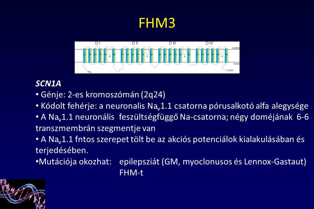SCN1A Génje: 2-es kromoszómán (2q24) Kódolt fehérje: a neuronalis Na v 1.1 csatorna pórusalkotó alfa alegysége A Na v 1.1 neuronális feszültségfüggő N