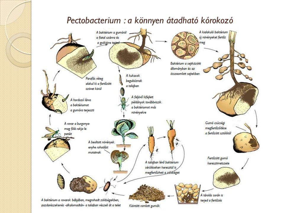 Pectobacterium : a könnyen átadható kórokozó