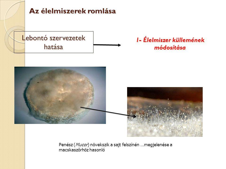 Lebontó szervezetek hatása Penész (Mucor) növekszik a sajt felszínén …megjelenése a macskaszőrhöz hasonló Az élelmiszerek romlása 1- Élelmiszer küllem