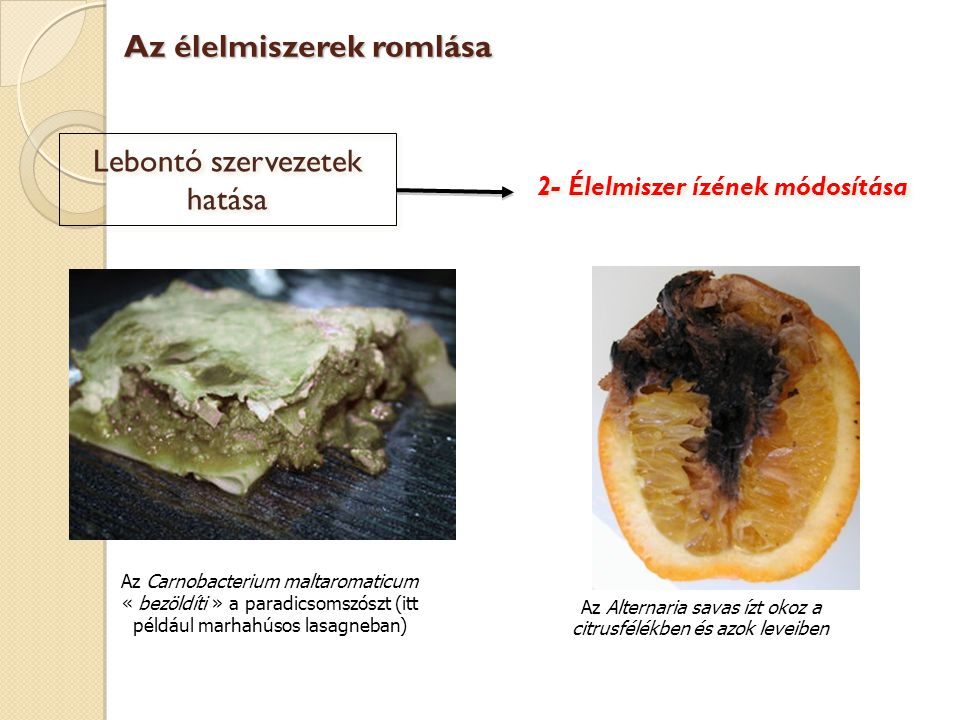 Lebontó szervezetek hatása A Plasmapora viticola (szőlőperonoszpóra) a szőlőszemeken nő és felhasználja annak szénhidrát tartalékait Az élelmiszerek romlása 3- A tápérték és a feldolgozási lehetőségek módosítása  Kevesebb cukorral nehézkessé válik az erjesztés és így a borkészítés is!