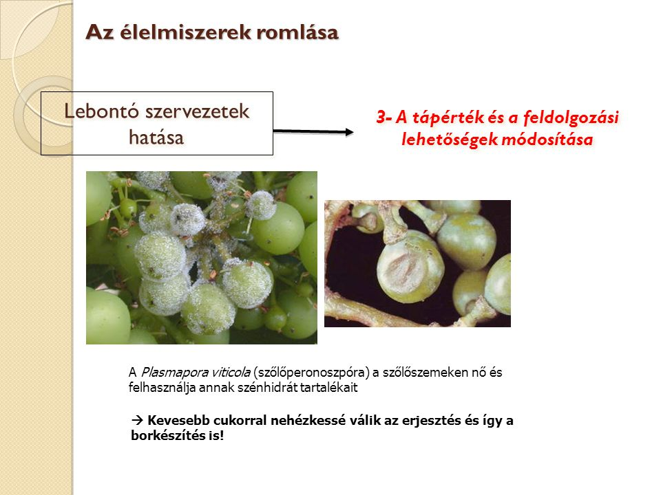 Lebontó szervezetek hatása A Plasmapora viticola (szőlőperonoszpóra) a szőlőszemeken nő és felhasználja annak szénhidrát tartalékait Az élelmiszerek r