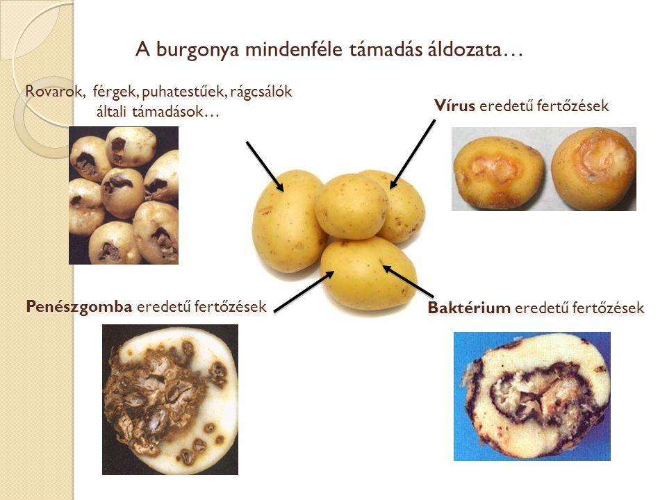 A burgonya kórokozó-baktériumjainak példája: Pectobacterium Pectobacterium (új elnevezés az Erwinia csoport számára) :  baktérium az enterobaktériumok családjából,  számos növény kórokozója,  növények és gumók pusztulását okozza  néhány fontos faj (P.carotovorum, P.atrosepticum…) Pectobacterium (új elnevezés az Erwinia csoport számára) :  baktérium az enterobaktériumok családjából,  számos növény kórokozója,  növények és gumók pusztulását okozza  néhány fontos faj (P.carotovorum, P.atrosepticum…) Burgonyagumó pusztulása P.atrosepticum által P.atrosepticum (x 2850)