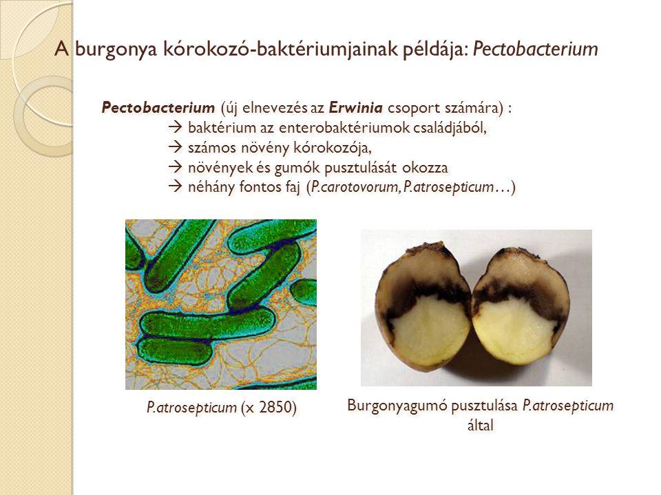 A burgonya kórokozó-baktériumjainak példája: Pectobacterium Pectobacterium (új elnevezés az Erwinia csoport számára) :  baktérium az enterobaktériumo