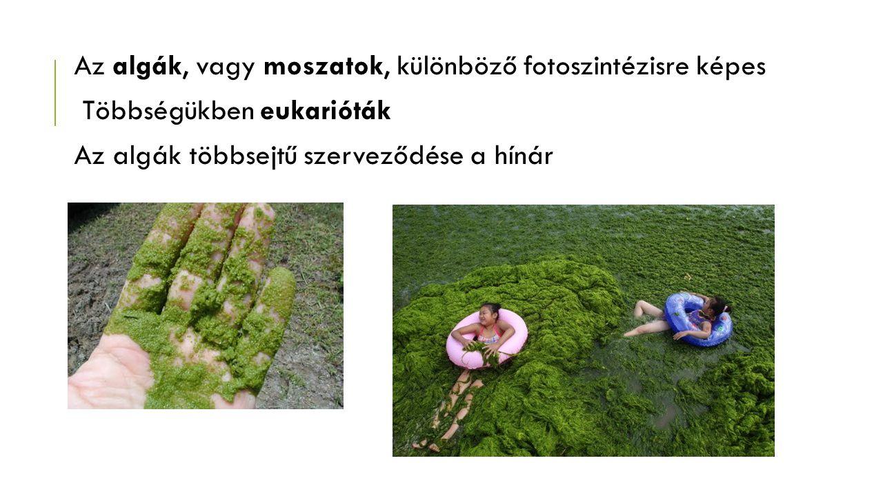 Az algák, vagy moszatok, különböző fotoszintézisre képes Többségükben eukarióták Az algák többsejtű szerveződése a hínár
