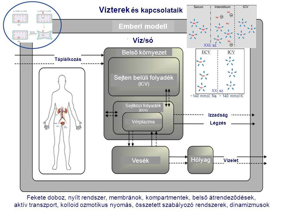 Vízterek és kapcsolataik Emberi modell Víz/só Belső környezet Sejten belüli folyadék (ICV) Sejtközi folyadék (ECV) Vérplazma Vesék Hólyag Vizelet Izza