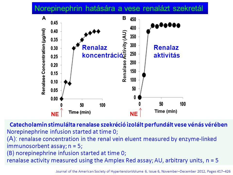Catecholamin stimulálta renalase szekréció izolált perfundált vese vénás vérében Norepinephrine infusion started at time 0; (A): renalase concentratio