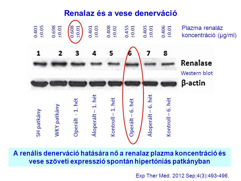 SH patkány WKY patkány Operált - 1. hét Áloperált – 1. hét Kontroll – 1. hét Operált – 6. hét Áloperált – 6. hét Kontroll – 6. hét A renális denerváci