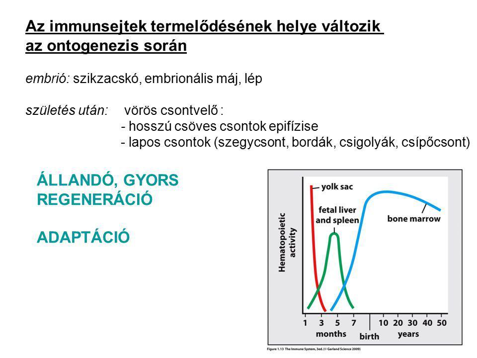 Az immunsejtek termelődésének helye változik az ontogenezis során embrió: szikzacskó, embrionális máj, lép születés után: vörös csontvelő : - hosszú csöves csontok epifízise - lapos csontok (szegycsont, bordák, csigolyák, csípőcsont) ÁLLANDÓ, GYORS REGENERÁCIÓ ADAPTÁCIÓ