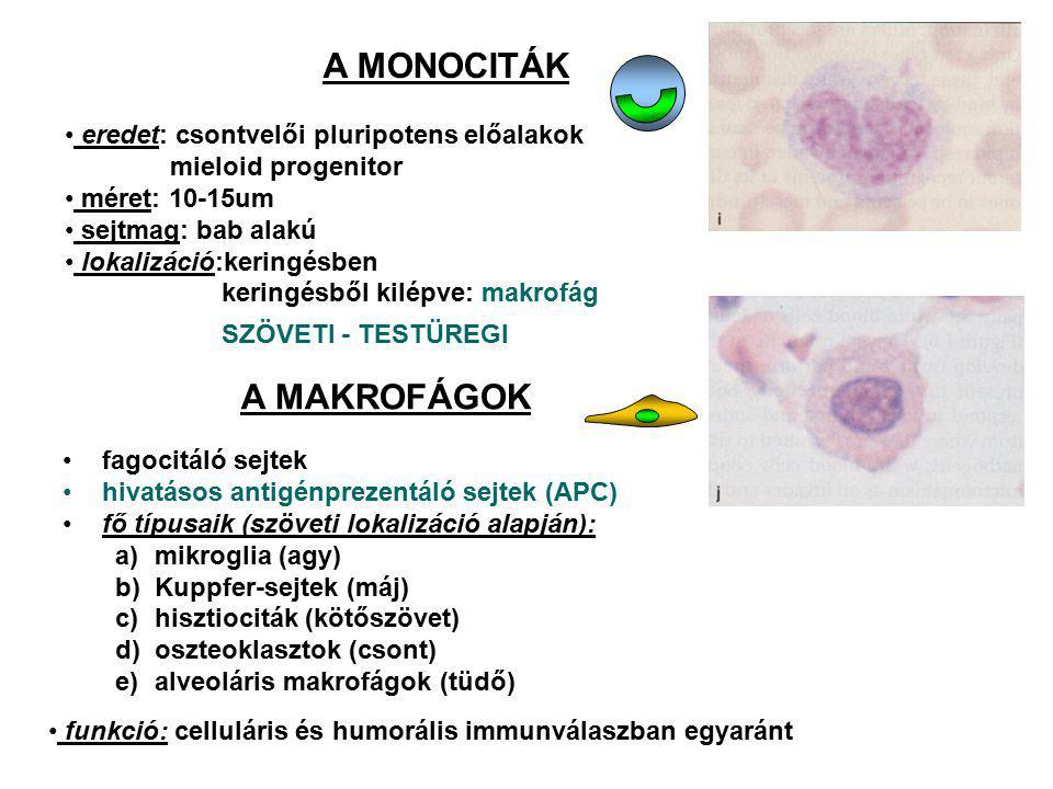A MONOCITÁK eredet: csontvelői pluripotens előalakok mieloid progenitor méret: 10-15um sejtmag: bab alakú lokalizáció:keringésben keringésből kilépve: makrofág SZÖVETI - TESTÜREGI A MAKROFÁGOK fagocitáló sejtek hivatásos antigénprezentáló sejtek (APC) fő típusaik (szöveti lokalizáció alapján): a)mikroglia (agy) b)Kuppfer-sejtek (máj) c)hisztiociták (kötőszövet) d)oszteoklasztok (csont) e)alveoláris makrofágok (tüdő) funkció: celluláris és humorális immunválaszban egyaránt