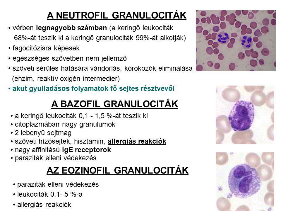 A BAZOFIL GRANULOCITÁK a keringő leukociták 0,1 - 1,5 %-át teszik ki citoplazmában nagy granulumok 2 lebenyű sejtmag szöveti hízósejtek, hisztamin, allergiás reakciók nagy affinitású IgE receptorok paraziták elleni védekezés A NEUTROFIL GRANULOCITÁK vérben legnagyobb számban (a keringő leukociták 68%-át teszik ki a keringő granulociták 99%-át alkotják) fagocitózisra képesek egészséges szövetben nem jellemző szöveti sérülés hatására vándorlás, kórokozók eliminálása (enzim, reaktív oxigén intermedier) akut gyulladásos folyamatok fő sejtes résztvevői AZ EOZINOFIL GRANULOCITÁK paraziták elleni védekezés leukociták 0,1- 5 %-a allergiás reakciók