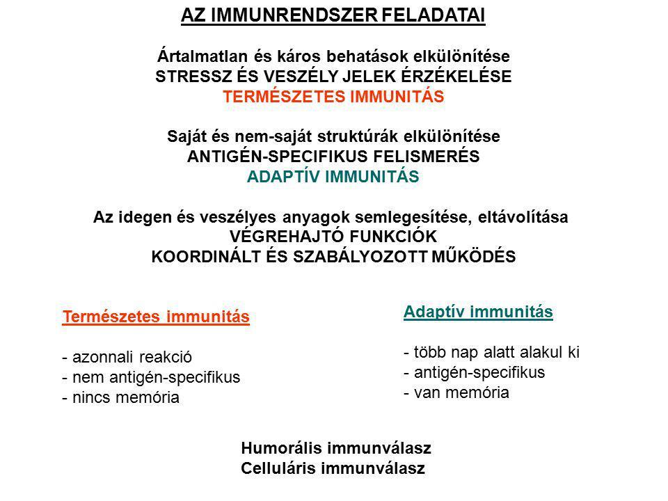 A HÍZÓSEJTEK eredet: csontvelői pluripotens előalakok, mieloid progenitor sejtek lokalizáció: keringésben nincsenek jelen szöveti térben differenciálódnak főként a kis erek környékére lokalizálódnak funkció: aktiválás során a belőlük felszabaduló anyagok az erek permeabilitását szabályozzák természetes és adaptív immunválaszban egyaránt allergiás folyamatok fő effektor sejtjei (Fc  RI a felszínen) fő típusaik: a) mukóza jellegű hízósejtek b) kötőszöveti hízósejtek