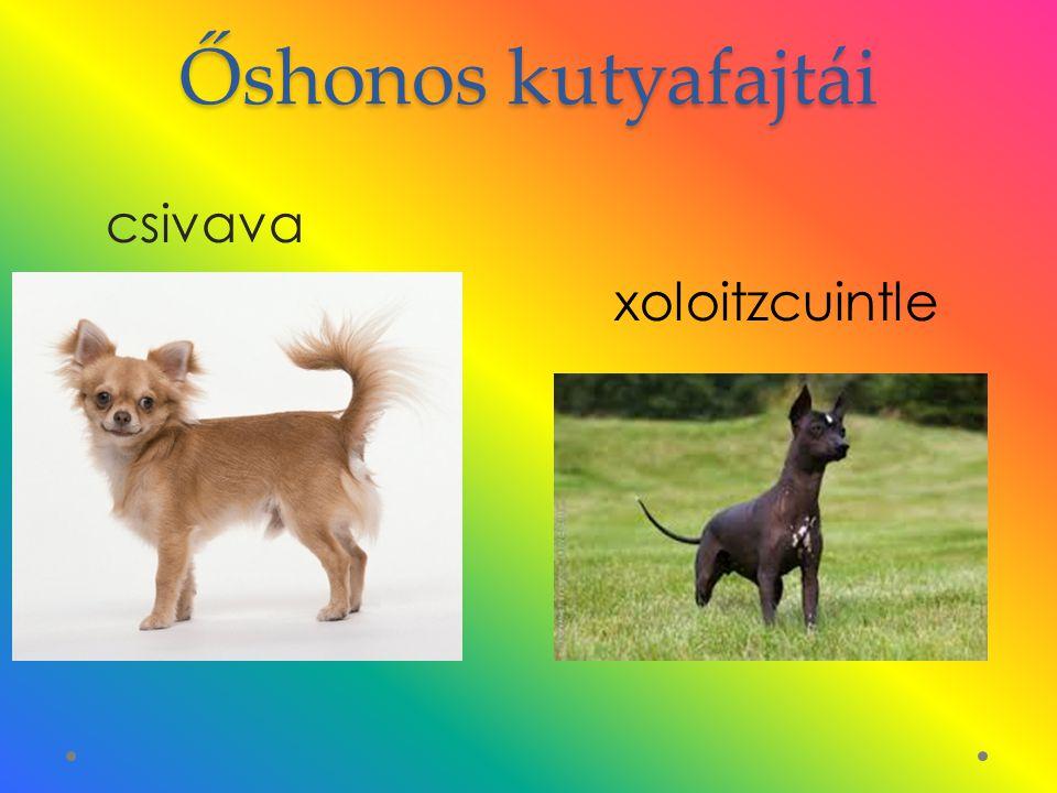 Őshonos kutyafajtái csivava xoloitzcuintle