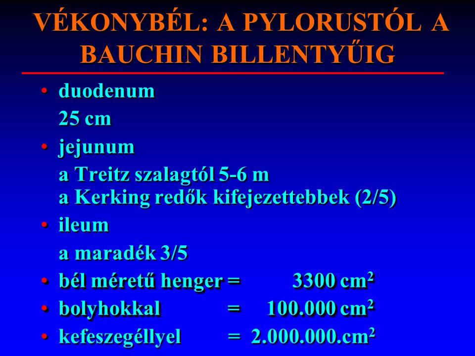 VÉKONYBÉL: A PYLORUSTÓL A BAUCHIN BILLENTYŰIG duodenum 25 cm jejunum a Treitz szalagtól 5-6 m a Kerking redők kifejezettebbek (2/5) ileum a maradék 3/5 bél méretű henger = 3300 cm 2bél méretű henger = 3300 cm 2 bolyhokkal = 100.000 cm 2bolyhokkal = 100.000 cm 2 kefeszegéllyel = 2.000.000.cm 2 duodenum 25 cm jejunum a Treitz szalagtól 5-6 m a Kerking redők kifejezettebbek (2/5) ileum a maradék 3/5 bél méretű henger = 3300 cm 2bél méretű henger = 3300 cm 2 bolyhokkal = 100.000 cm 2bolyhokkal = 100.000 cm 2 kefeszegéllyel = 2.000.000.cm 2