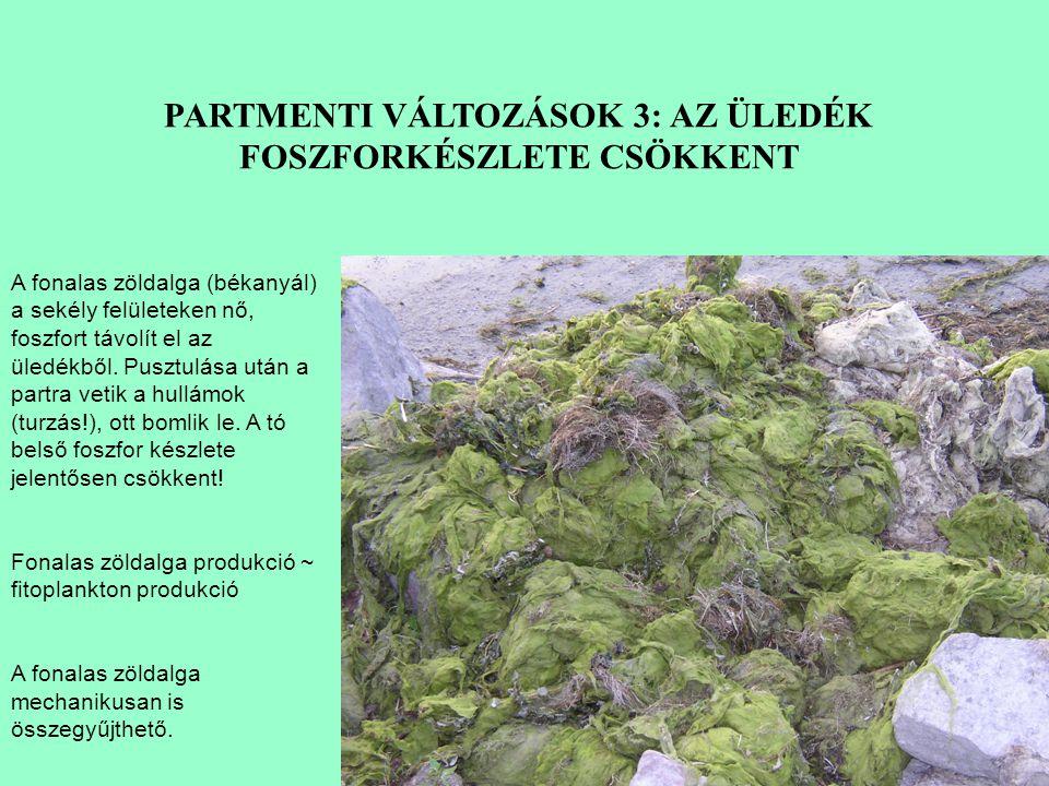 A fonalas zöldalga (békanyál) a sekély felületeken nő, foszfort távolít el az üledékből.