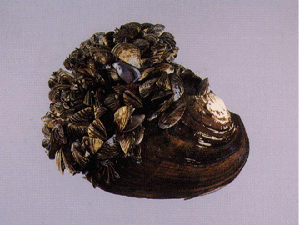JELENSÉG KITERJEDÉSOKOK 1934-1938Hinarasodás Keszthelyi-öböl: hínáros békaszõlõ (Potamogaton perfoliatus),süllõhínár (Myriophyllum spicatum) 1951a fecskemoszat (Ceratium hirundinella) megszaporodik egész tóterületfokozódó tápanyagterhelés 1960.