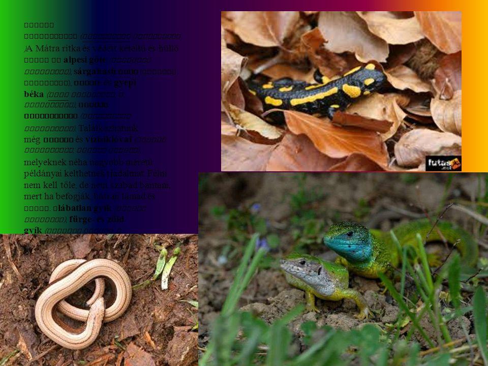 Foltos szalamandra ( Salamandra salamandra ) A Mátra ritka és védett kétéltű és hüllő fajai az alpesi gőte ( Triturus alpestris ), sárgahasú unka ( Bo