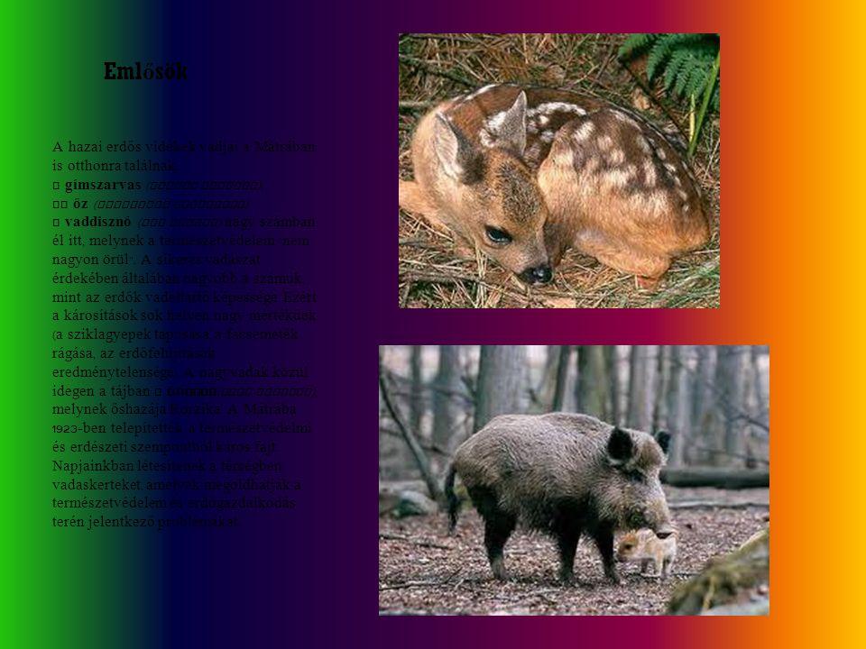 A hazai erdős vidékek vadjai a Mátrában is otthonra találnak. A gímszarvas ( Cervus elaphus ), az őz ( Capreolus capreolus ), a vaddisznó ( Sus scrofa