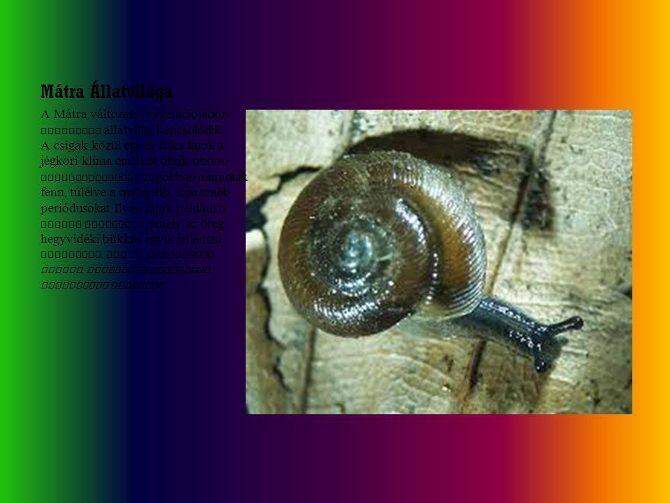 Mátra Állatvilága A Mátra változatos vegetációjához fajgazdag állatvilág kapcsolódik. A csigák közül egyes ritka fajok a jégkori klíma emlékét őrzik :