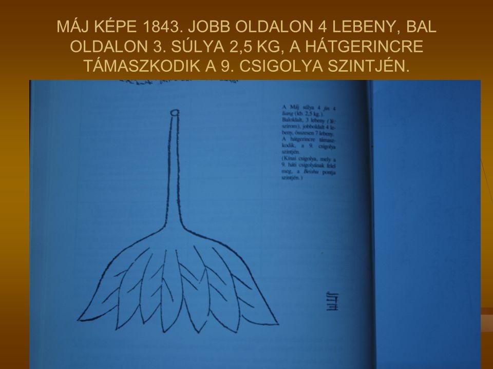MÁJ KÉPE 1843. JOBB OLDALON 4 LEBENY, BAL OLDALON 3. SÚLYA 2,5 KG, A HÁTGERINCRE TÁMASZKODIK A 9. CSIGOLYA SZINTJÉN.