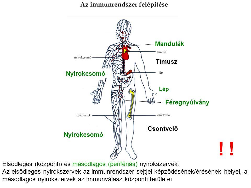 Tímusz Lép Csontvelő Nyirokcsomó Mandulák Féregnyúlvány Elsődleges (központi) és másodlagos (perifériás) nyirokszervek: Az elsődleges nyirokszervek az
