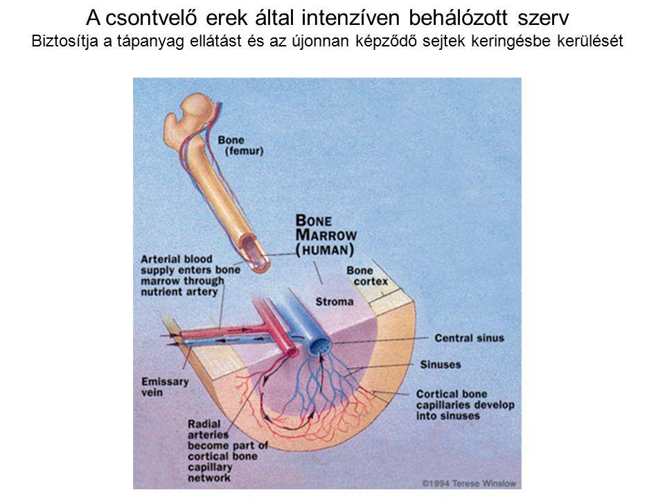 A csontvelő erek által intenzíven behálózott szerv Biztosítja a tápanyag ellátást és az újonnan képződő sejtek keringésbe kerülését