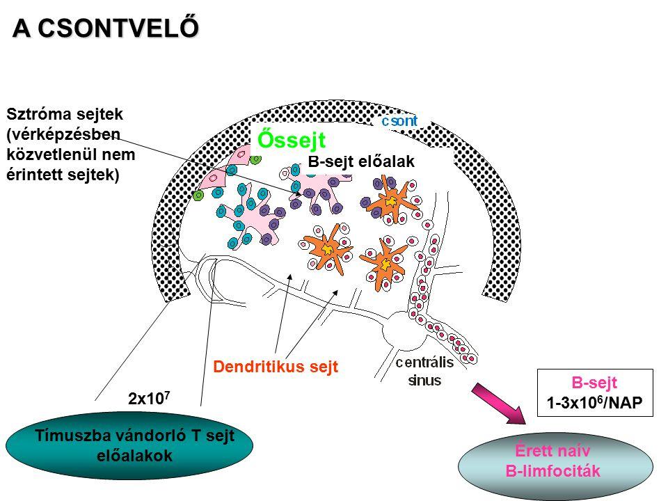 A CSONTVELŐ Tímuszba vándorló T sejt előalakok 2x10 7 B-sejt 1-3x10 6 /NAP Érett naív B-limfociták Dendritikus sejt B-sejt előalak Őssejt Sztróma sejt