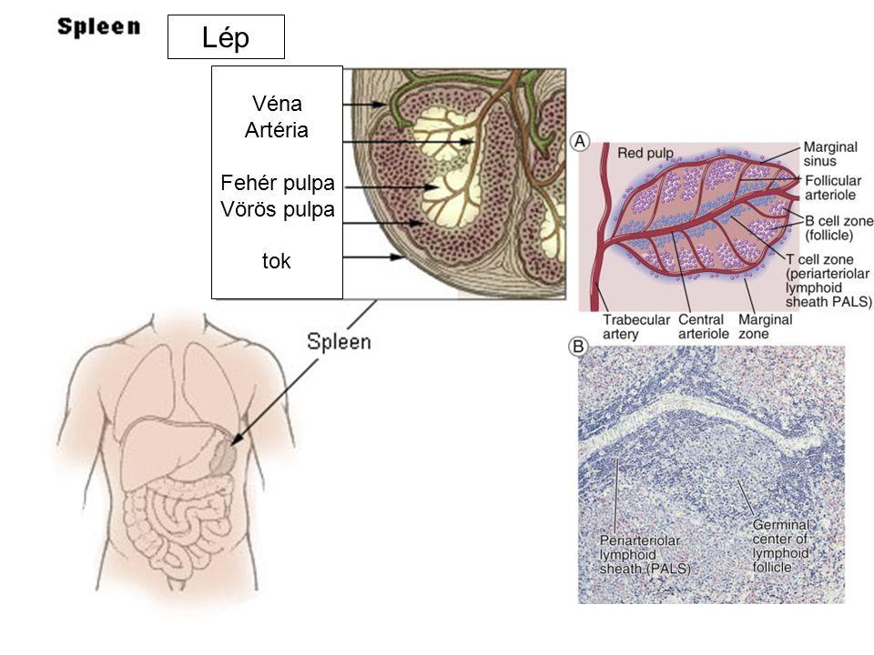Lép Véna Artéria Fehér pulpa Vörös pulpa tok
