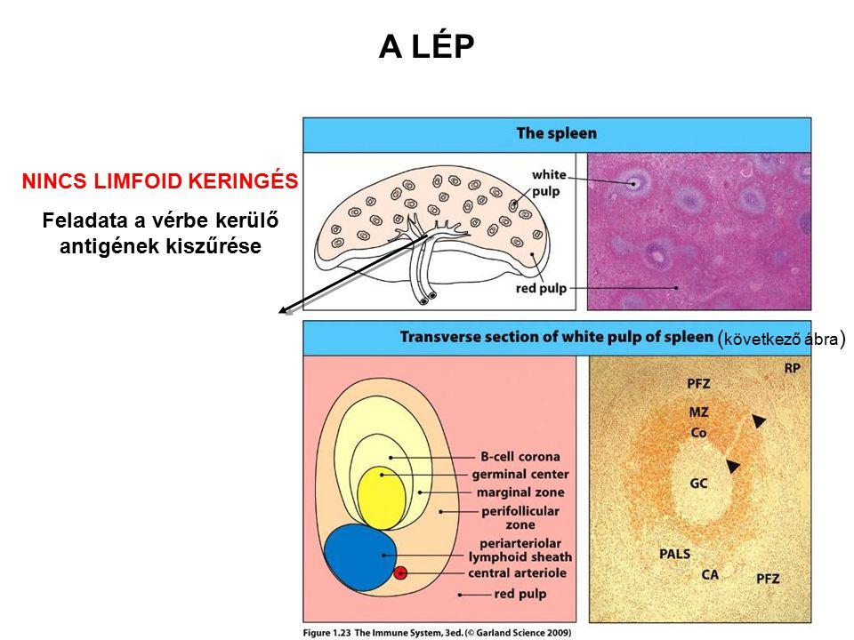 A LÉP NINCS LIMFOID KERINGÉS Feladata a vérbe kerülő antigének kiszűrése ( következő ábra )