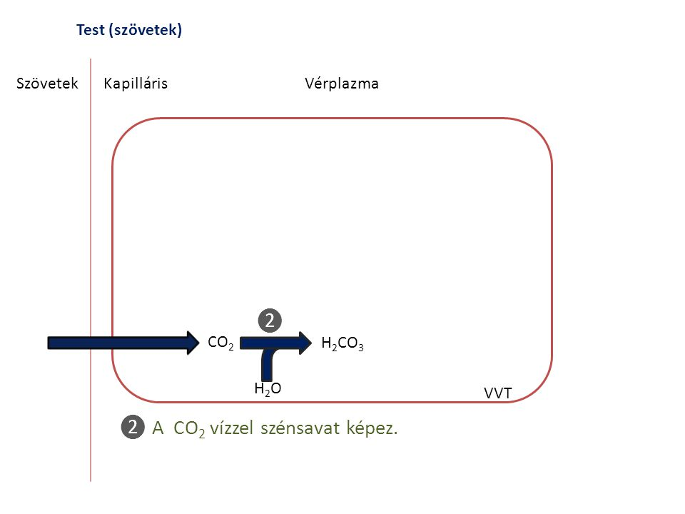 Test (szövetek) SzövetekKapilláris CO 2 H 2 CO 3 H2OH2O Vérplazma VVT ❷ A CO 2 vízzel szénsavat képez. ❷