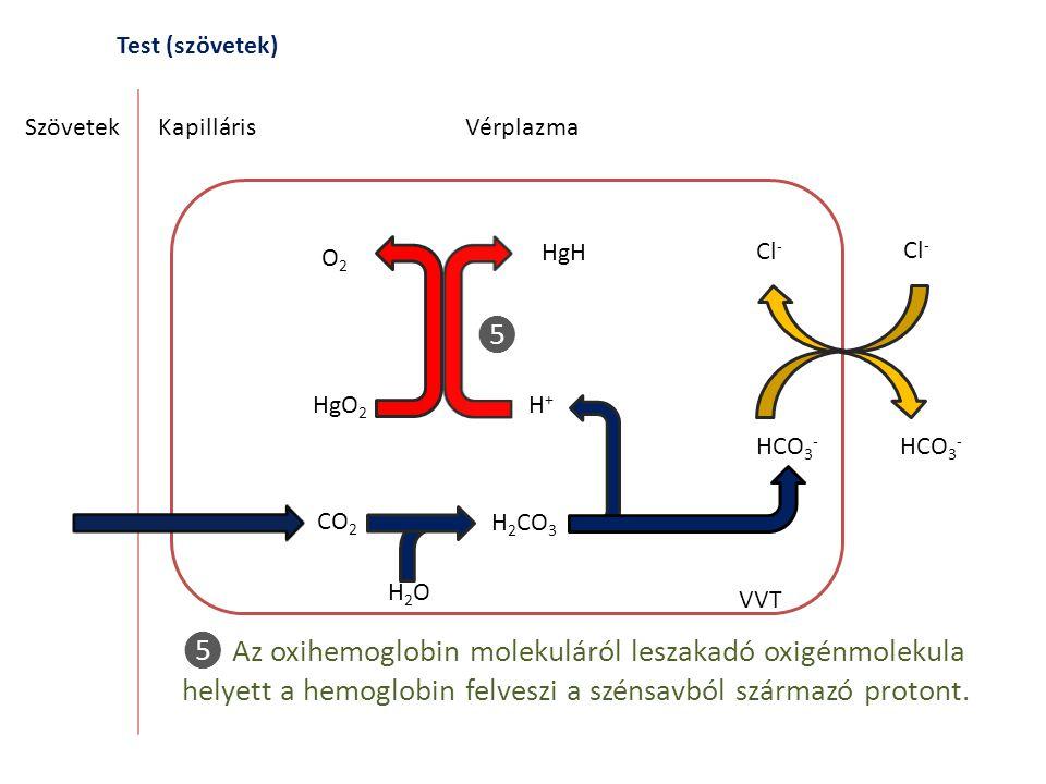 Test (szövetek) SzövetekKapilláris CO 2 H 2 CO 3 H2OH2O Vérplazma VVT ❺ Az oxihemoglobin molekuláról leszakadó oxigénmolekula helyett a hemoglobin fel