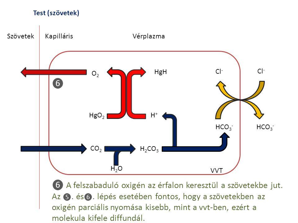 Test (szövetek) SzövetekKapilláris CO 2 H 2 CO 3 H2OH2O Vérplazma VVT ❻ A felszabaduló oxigén az érfalon keresztül a szövetekbe jut. Az ❺. és ❻. lépés