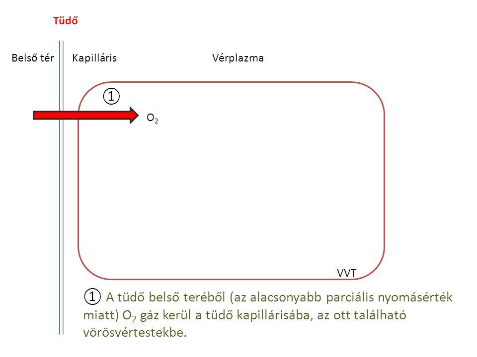 Tüdő Belső térKapilláris HgH + O2O2 HgO 2 H+H+ Vérplazma VVT ② Az O 2 molekula a hemoglobinra kerül H + -t szorítva le arról.