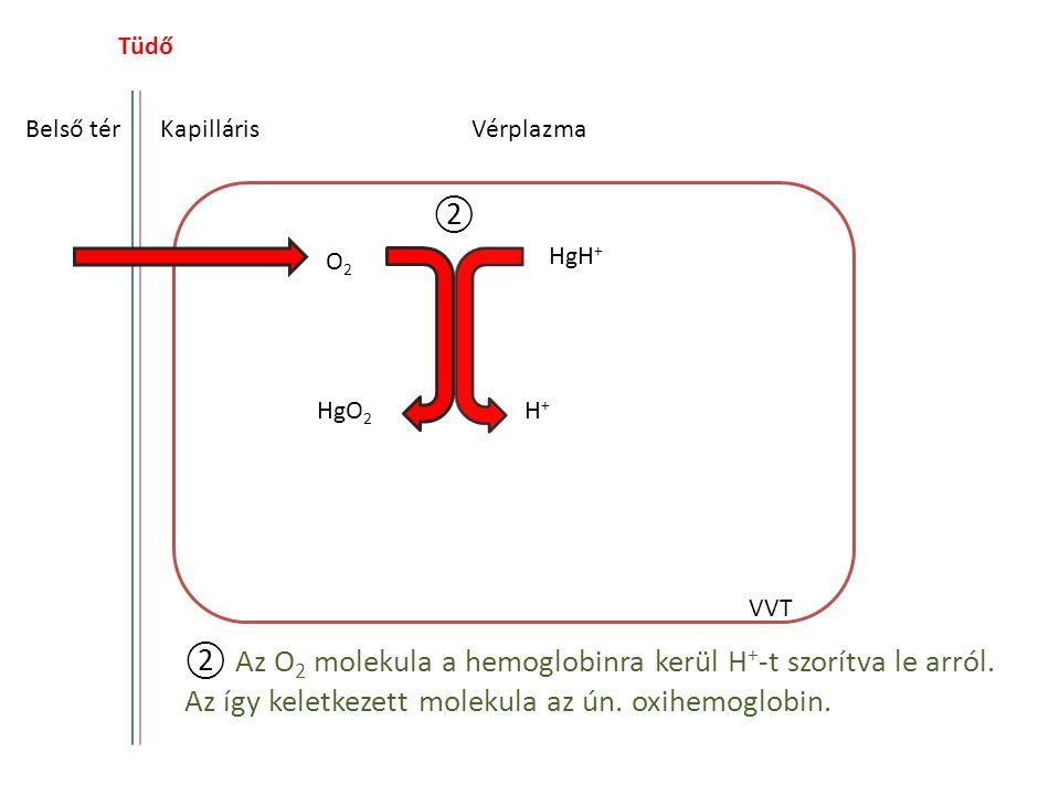 Tüdő Belső térKapilláris HgH O2O2 HgO 2 H+H+ HCO 3 - H 2 CO 3 Vérplazma VVT ③ ③ A H + a HCO 3 - ionokhoz kapcsolódva szénsavat (H 2 CO 3 ) hoz létre.