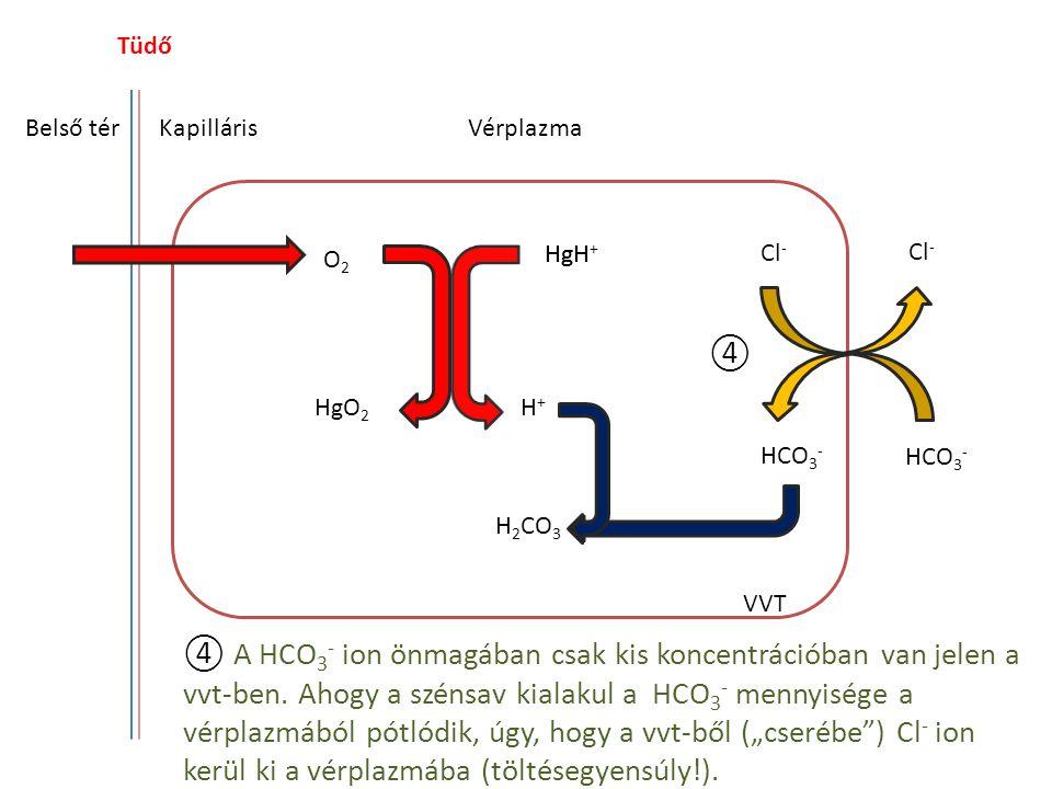 Tüdő Belső térKapilláris HgH O2O2 HgO 2 H+H+ Cl - HCO 3 - H 2 CO 3 Vérplazma VVT ④ A HCO 3 - ion önmagában csak kis koncentrációban van jelen a vvt-be