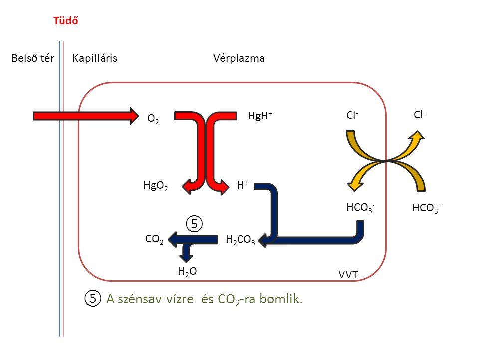 Tüdő Belső térKapilláris HgH O2O2 HgO 2 H+H+ Cl - HCO 3 - CO 2 H 2 CO 3 H2OH2O Vérplazma VVT ⑤ A szénsav vízre és CO 2 -ra bomlik. ⑤ HgH +